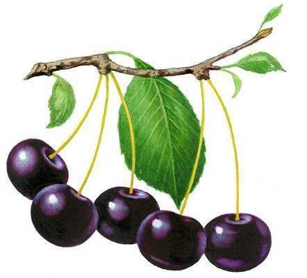 Лучшие сорта вишни для сибири - 25 самых крупных, вкусных, сладких