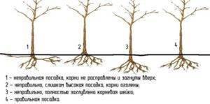Совместимость плодовых культур – какие деревья в саду сажают рядом