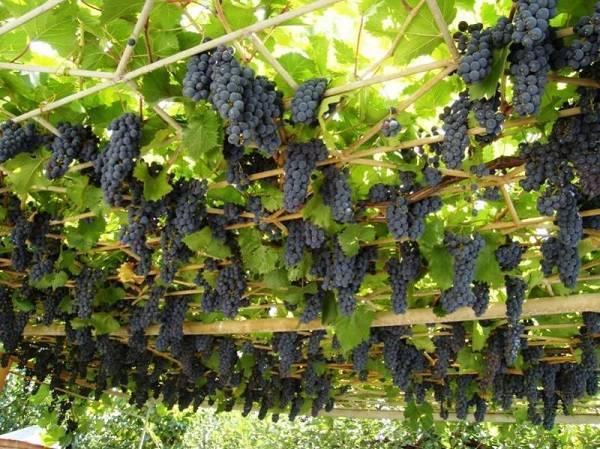 Выращивание мускатного винограда русбол — описание лозы
