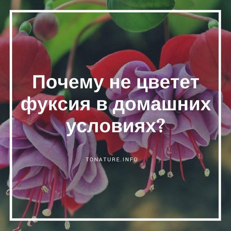 Почему не цветет фуксия?