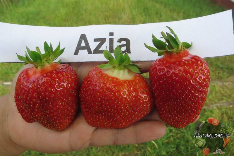"""Каковы особенности сорта клубники """"азия"""", как правильно выращивать растение"""