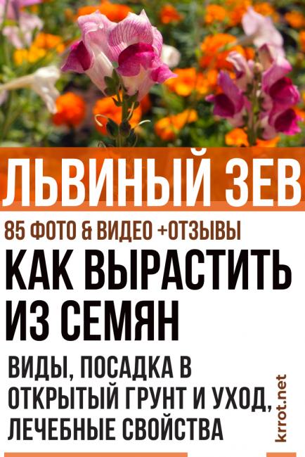 Львиный зев: выращивание из семян рассадой, посадка в грунт и уход