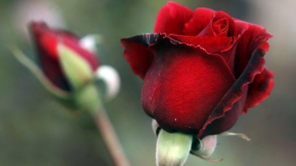 Сорта роз с фото