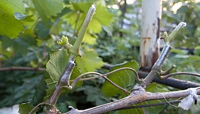Прививка винограда весной для начинающих – сроки, фото и видео