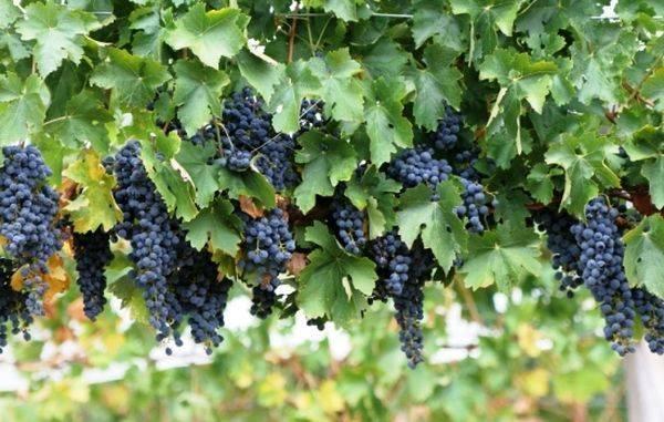 Как ухаживать за виноградом в средней полосе