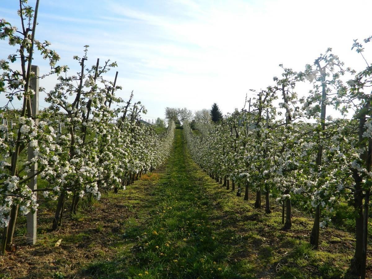 Формирование и правильный уход за саженцем яблони в первый год после посадки