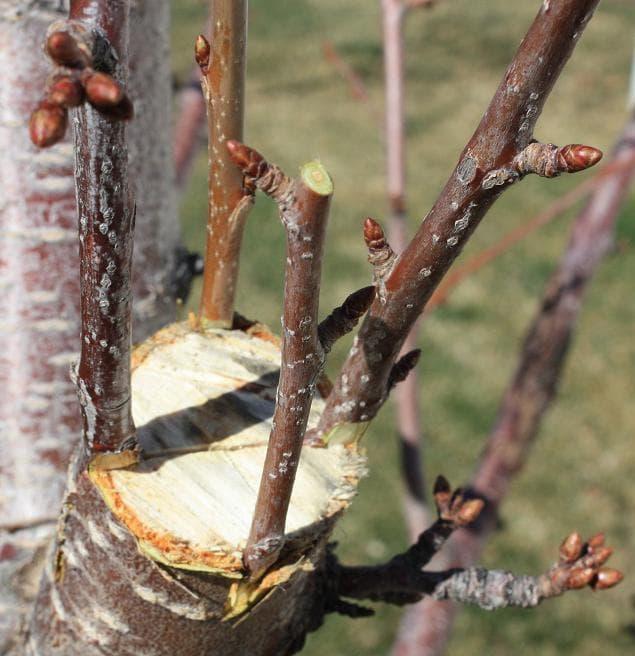 Прививка груши весной для начинающих - сроки и способы, какие черенки можно брать?