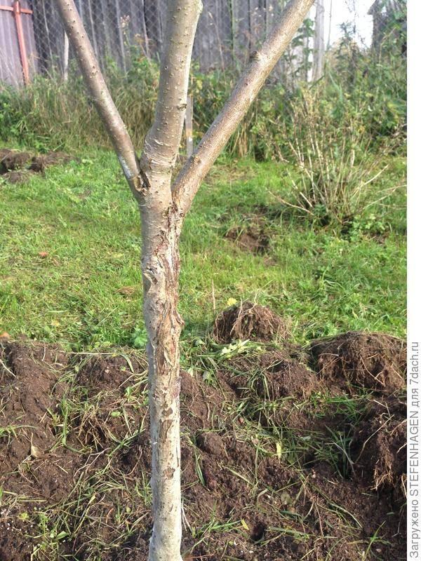 Почему трескается кора на яблонях (что делать)