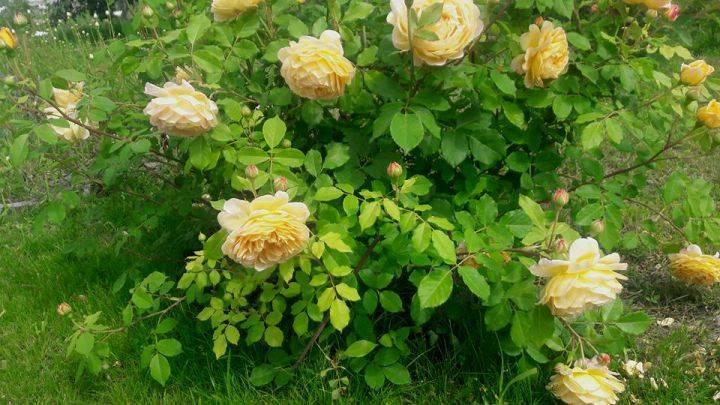 Роза голден селебрейшен: описание, отзывы, фото сорта, уход