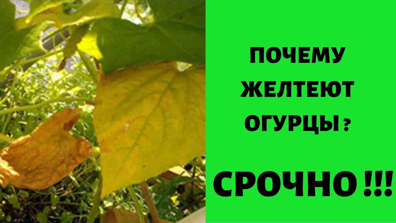 Почему желтеют и сохнут завязи огурцов. почему желтеют листья у огурцов в теплице и открытом грунте –причины и методы борьбы