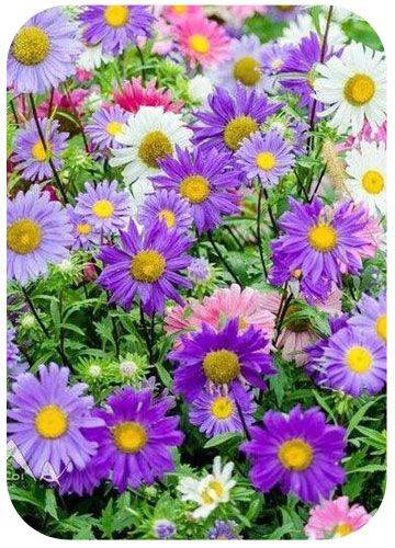 Однолетние цветы, цветущие все лето — название и фото — лучшие варианты
