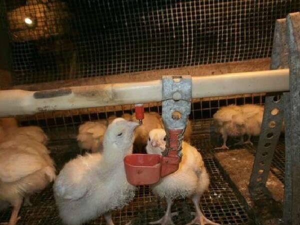 О тривите для бройлеров, кур, цыплят: инструкция по применению, дозировка