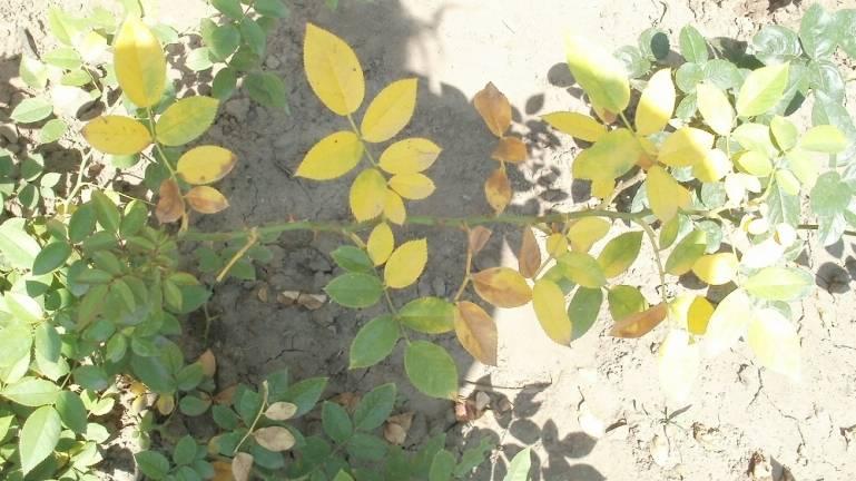 Почему опадают листья у розы садовой
