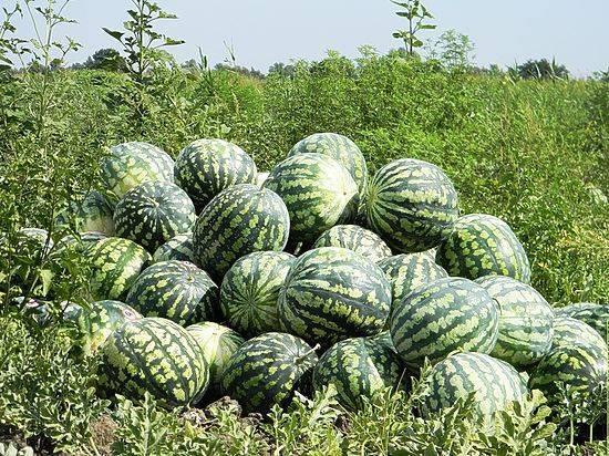 Выращивание арбуза «астраханского» в открытом грунте: секреты огромного урожая