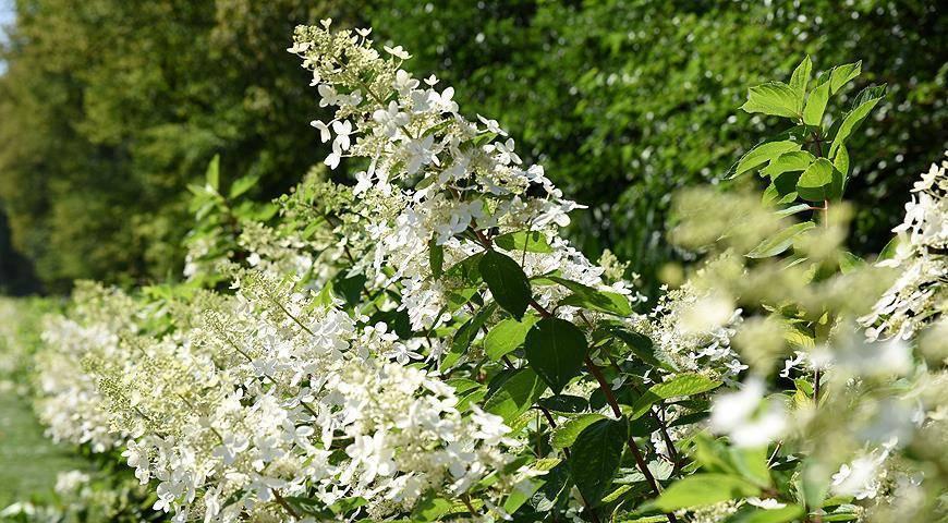 О сорте гортензии белая шаровидная: описание, как посадить и ухаживать