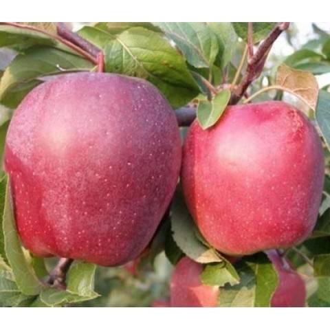 Описание яблони сорта глостер