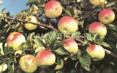 Яблоня имрус: описание и характеристики сорта, выращивание и размножение, отзывы