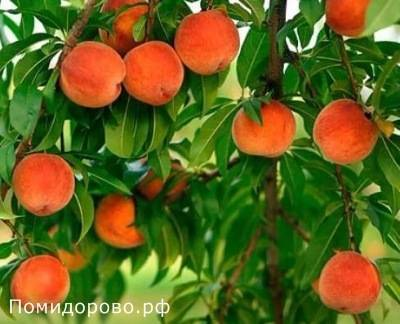 Персик: о растении