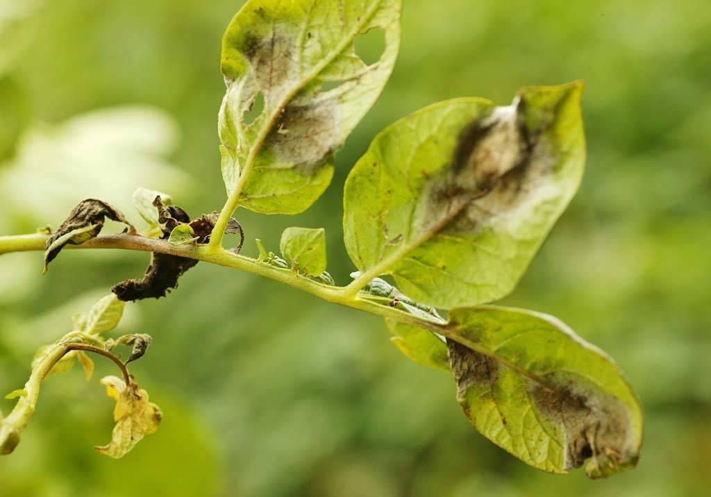 Как бороться с фитофторой на картофеле: эффективные методы лечения