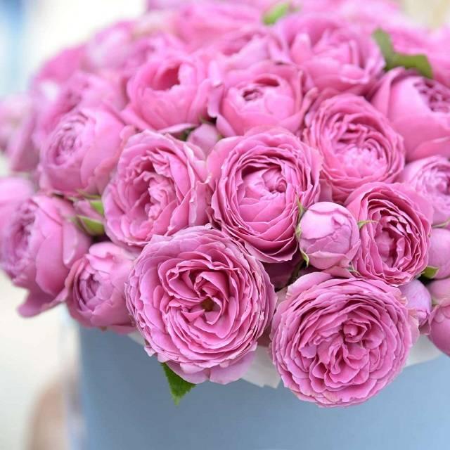 Роза мисти баблс фото и описание