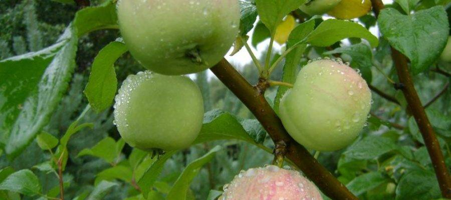 О яблоне Ковровое: описание и характеристики сорта, уход и выращивание