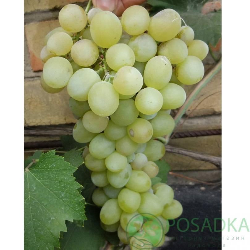 Мускат восточный — сорт винограда