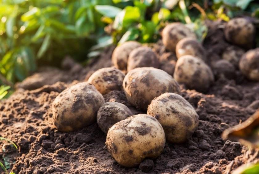 Сорт картофеля «кардинал»: характеристика, описание, урожайность, отзывы и фото