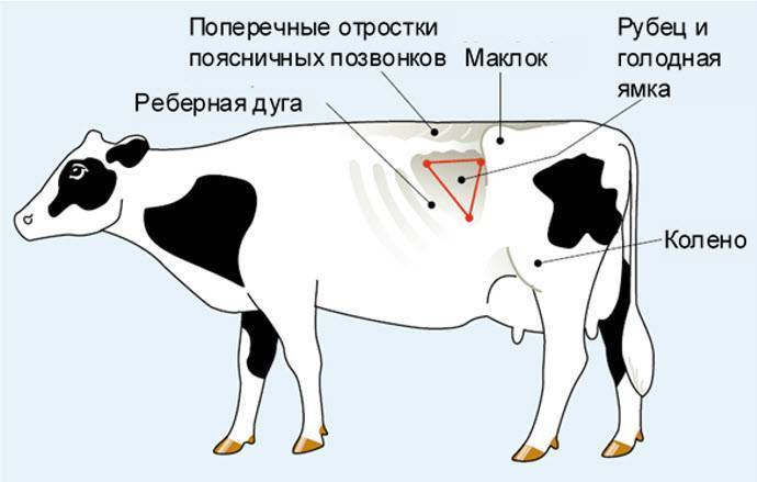 Тимпания рубца – вздутие рубца у коров