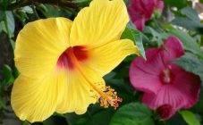 Все о гибискусе: что за цветок, как выглядит, описание и условия выращивания