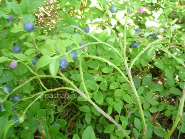 Черника (vaccinium myrtillus) на садовом участке