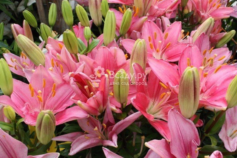 Посадка лучших видов лилии, особенности по уходу за разновидностями культуры