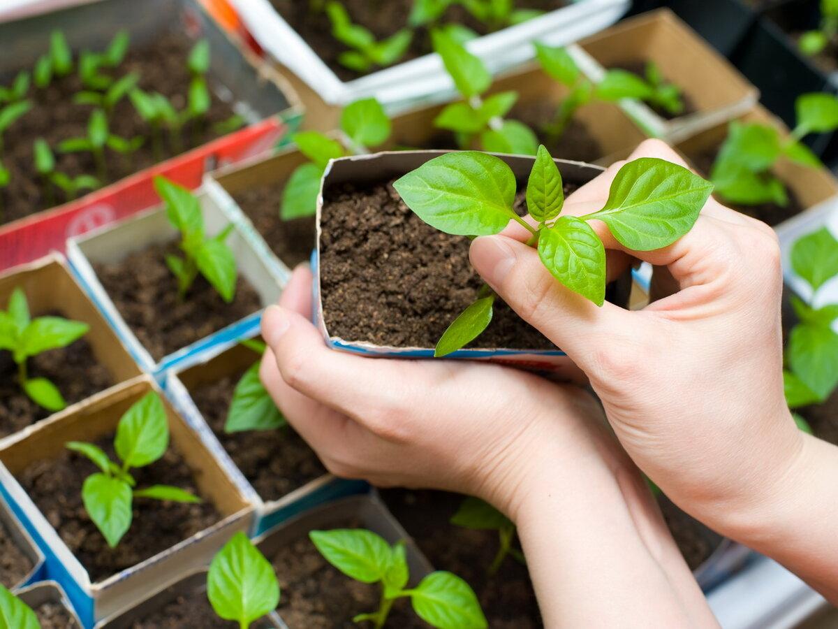 Важный вопрос: как вырастить вкусные помидоры из семян? правила посадки и ухода