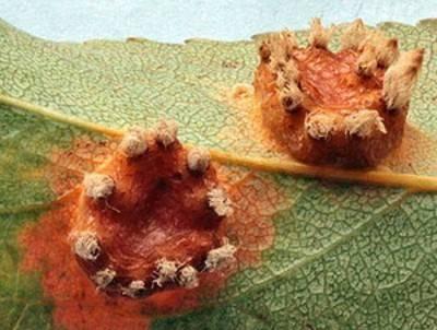 Болезни груш и их лечение