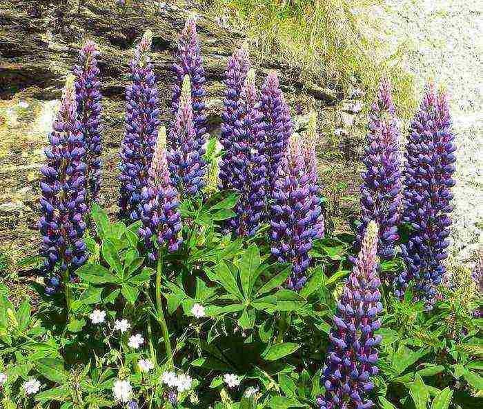 Люпин многолистный: лучшие сорта и правила выращивания