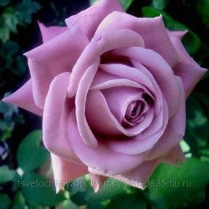Синяя роза – как изменить цвет лепестков?