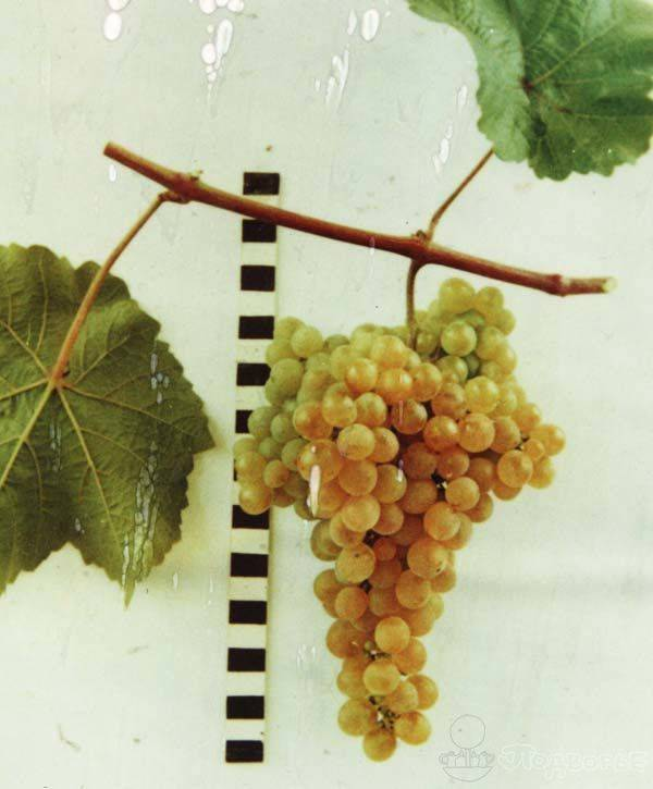 Обрезка винограда платовский