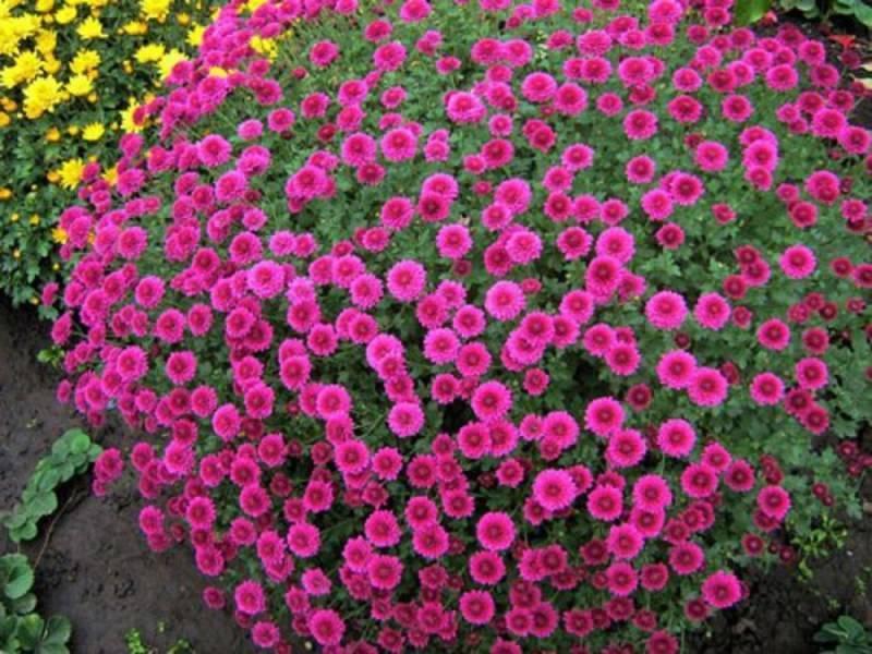 Посадка и уход за хризантемами (48 фото): как выращивать хризантемы в открытом грунте в саду и в домашних условиях?