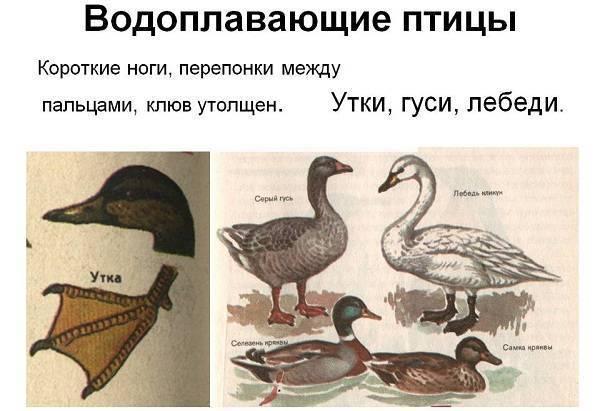 Черные породы уток: описание, виды, выбор и уход