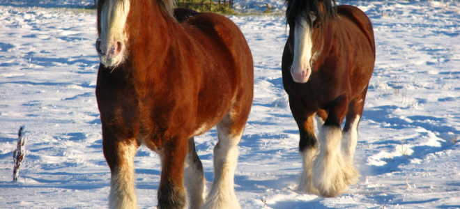 Русская рысистая порода лошадей