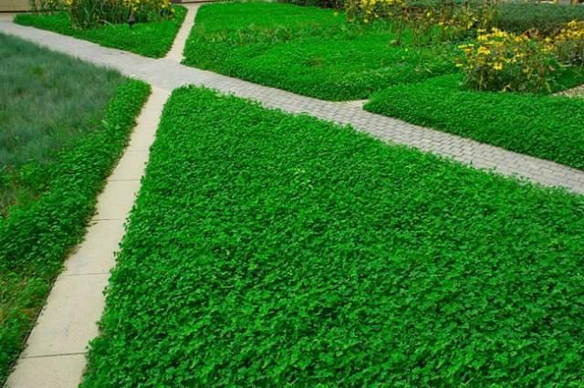 Клевер как сидерат: условия выращивания и правила посева культуры