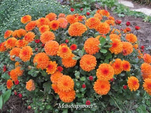 Сорта хризантем: обзор, описание, особенности выращивания