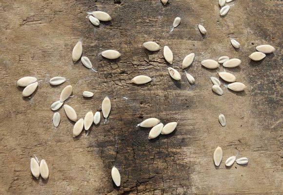 Замачивание семян огурцов перед посадкой: нужно ли, как замочить, сколько времени замачивать