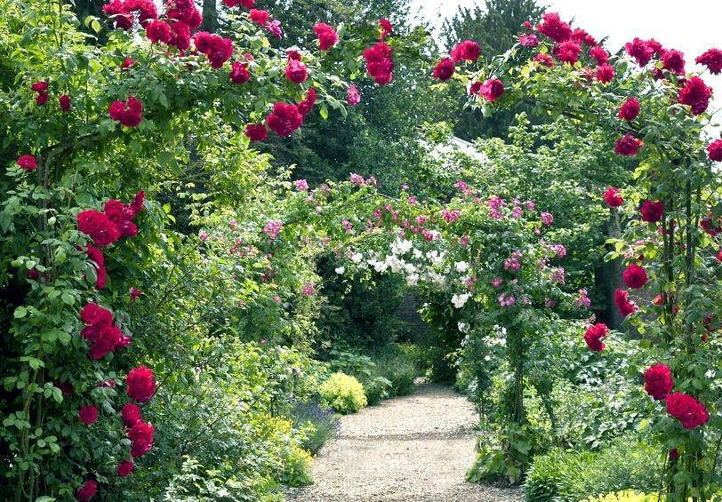 Плетистые розы rambler, climber, climbing в чем отличие