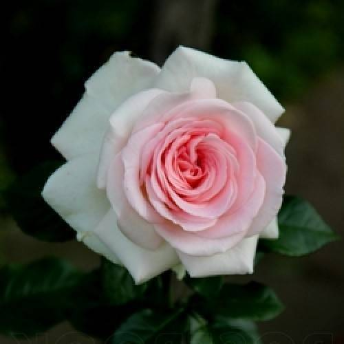 Роза графиня астрид