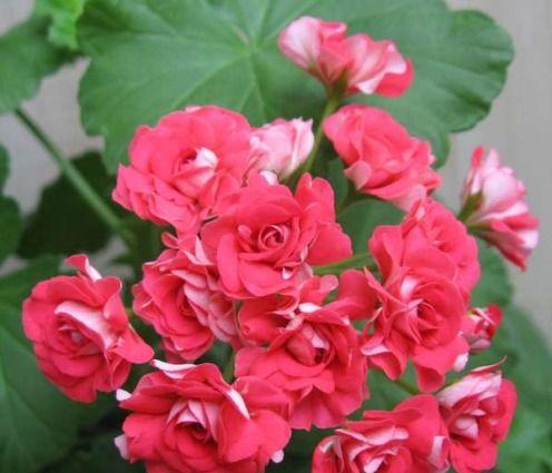 Герань: сорта и разновидности желтой, розовой, чем отличается от пеларгонии