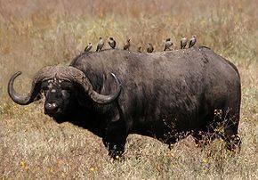 Африканский буйвол фото, описание, ареал, питание, враги