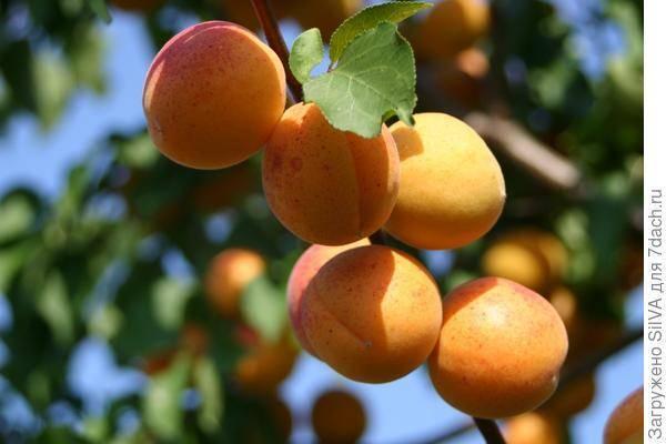 Особенности посадки абрикоса и ухода за ним