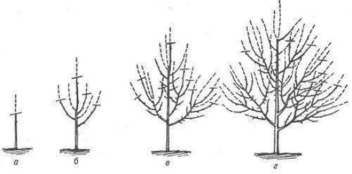 Обрезка персика: как и когда правильно формировать персиковое дерево. советы опытных садоводов для начинающих (130 фото и видео)