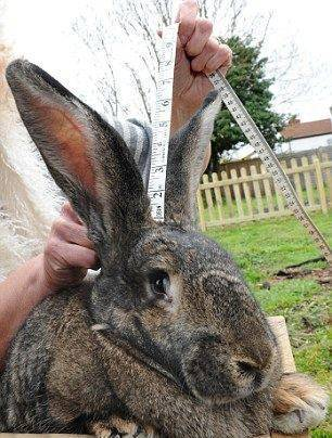 Самый большой кролик в мире и породы-рекордсмены