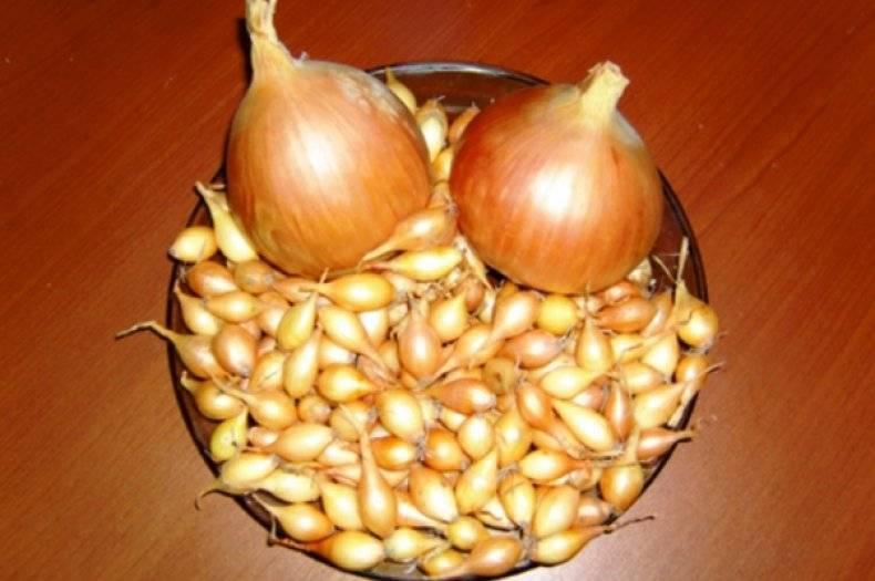 Как посадить лук «геркулес»? описание, отзывы